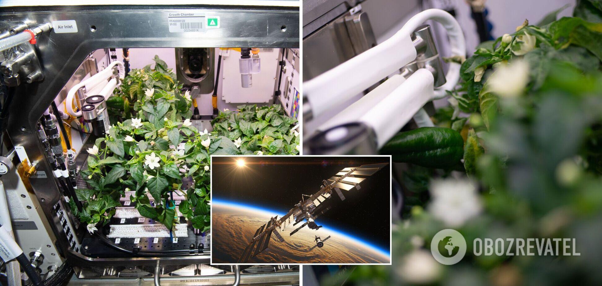 Астронавти NASA змогли виростити на МКС болгарський перець. Фото 'космічного' врожаю