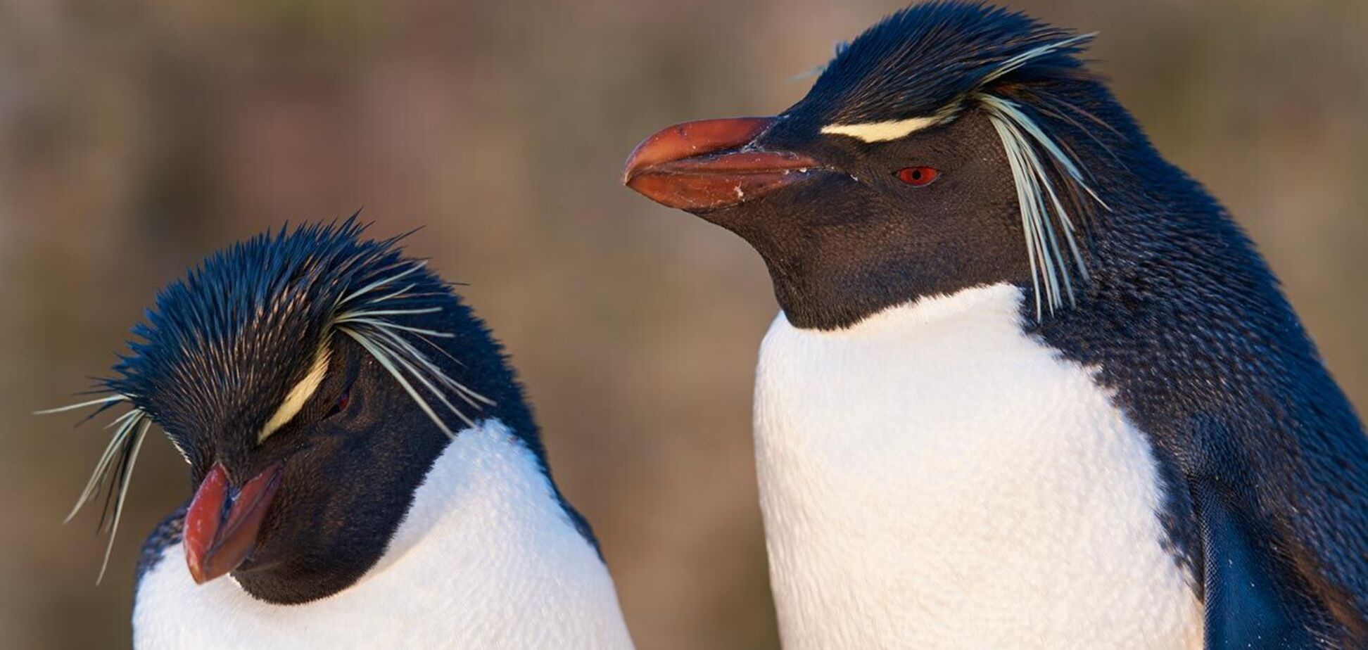 З'явилися рідкісні знімки пінгвіна яскраво-жовтого забарвлення