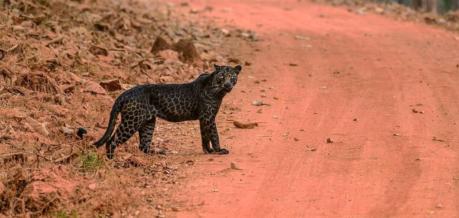 Очень редкого черного леопарда засняли на охоте за оленем. Фото и видео
