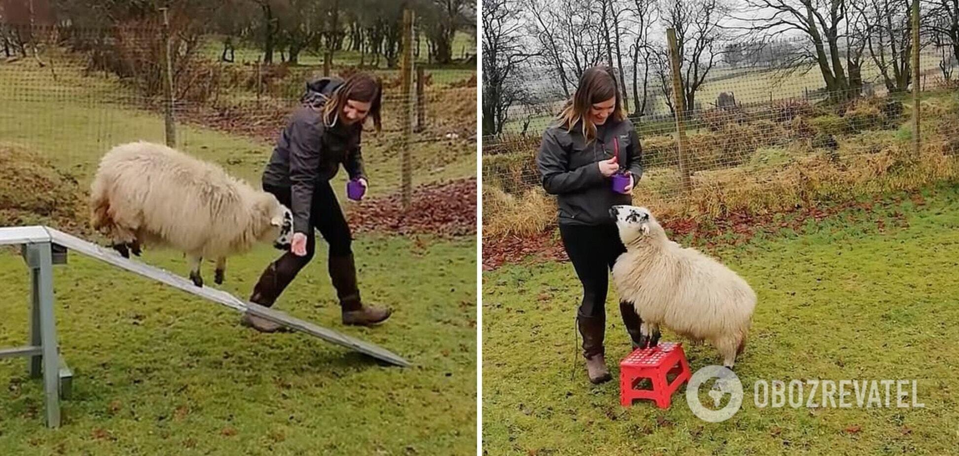 Дресирувальниця навчила вівцю собачих трюків. Відео