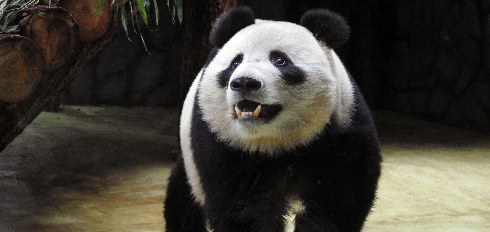 У мережу потрапило веселе відео голодної панди, яка їсть бамбук і падає на землю