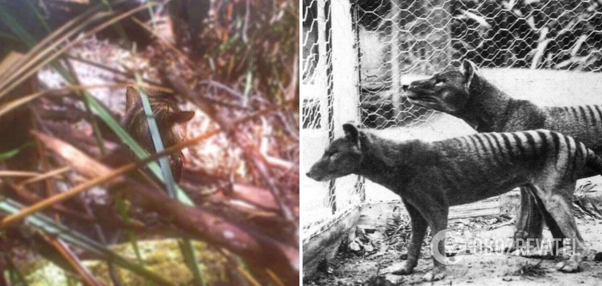 Фотограф запечатлел 'тасманийского тигра', который считается вымершим с 1936 года. Видео