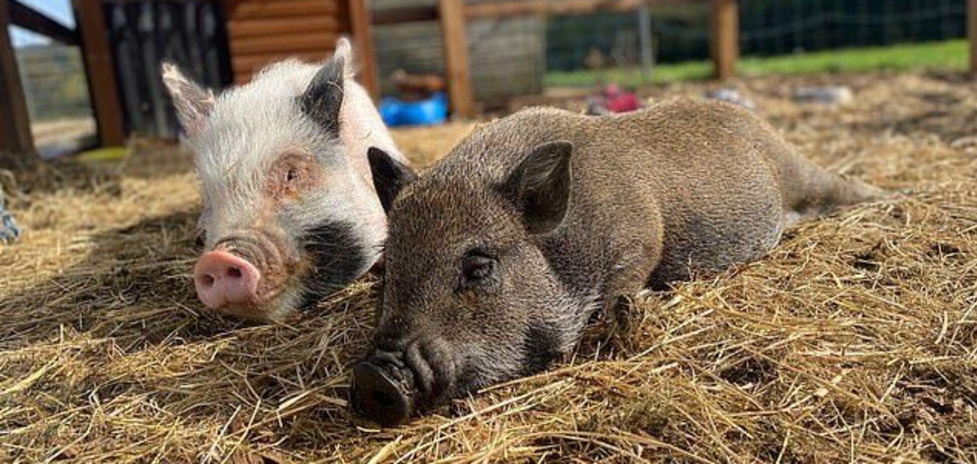 В Англії чоловік виростив домашніх свиней і гуляє з ними містом. Фото