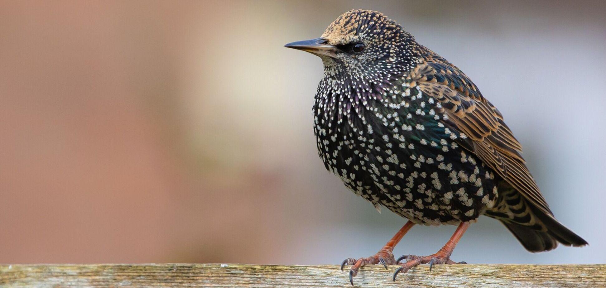 Сотни скворцов слетелись в небе в форме птицы. Удивительное видео