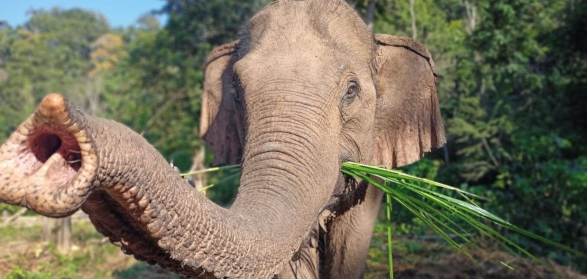 Дикий слон впізнав ветеринара, який його лікував
