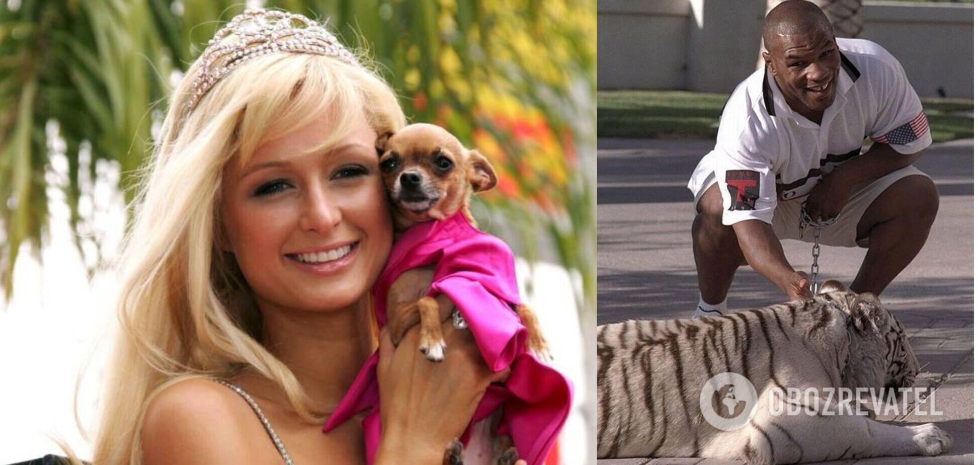 Тайсон держал в доме тигра, а Пэрис Хилтон любит карликовые породы собак