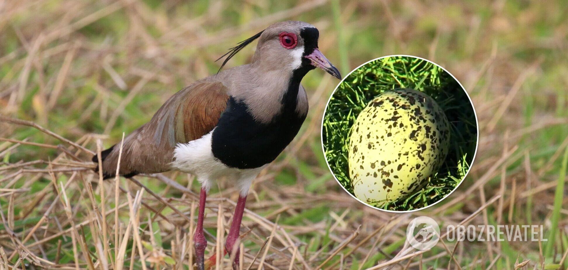 В Бразилии птица снесла яйцо прямо на поле во время футбольного матча. Видео