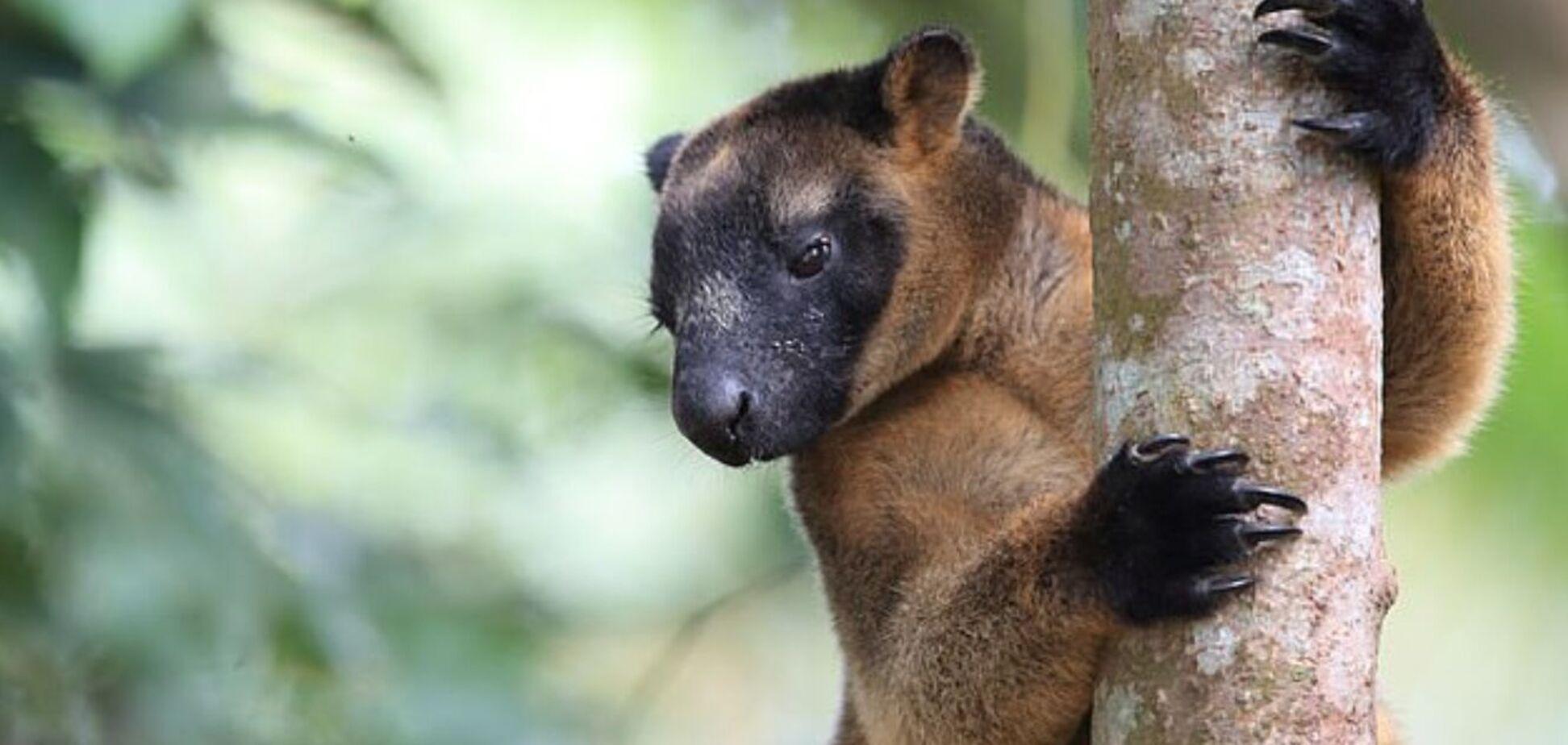 Кенгуру раньше лазили по деревьям: найдены доказательства. Фото