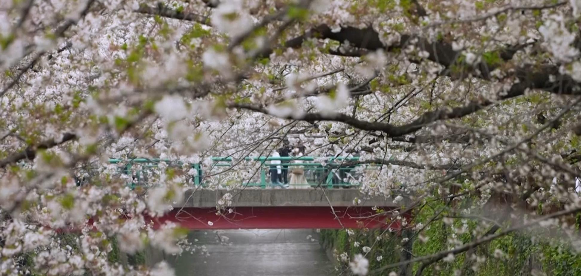В Японії зацвіла сакура