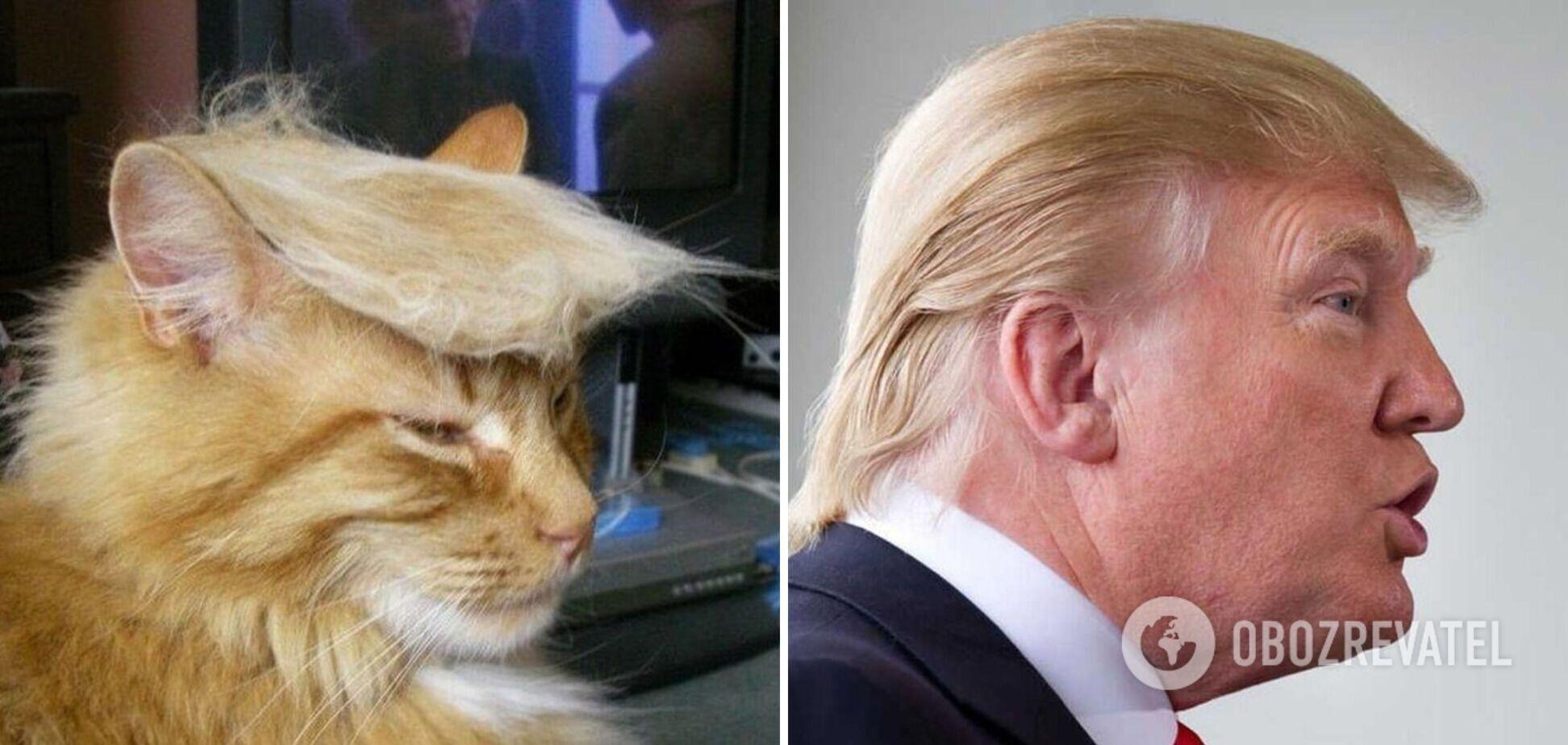 Рыжий котик похож на Дональда Трампа