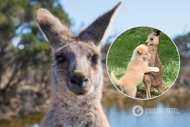 В Австралії зняли милі обійми собаки і кенгуру. Відео