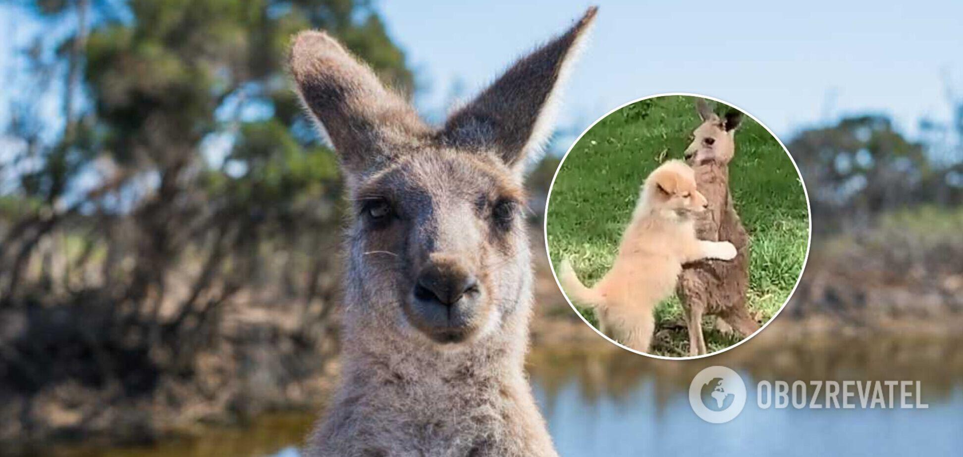В Австралии засняли милые объятия собаки и кенгуру. Видео