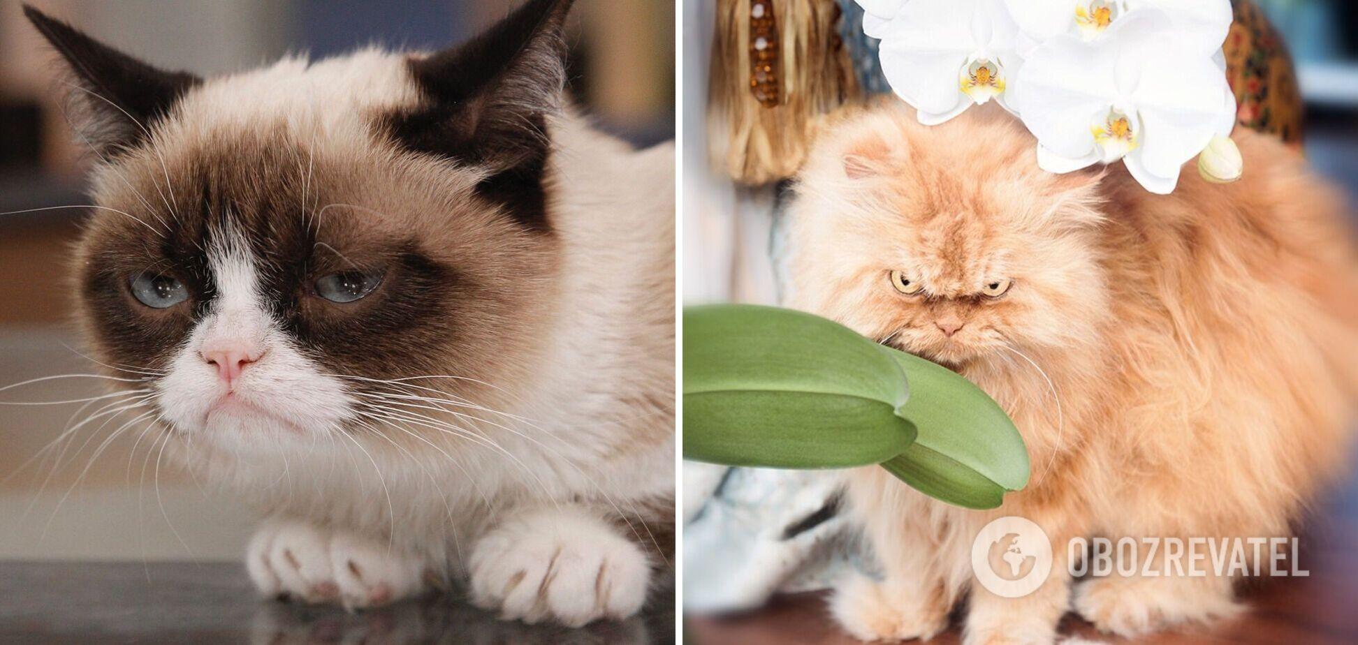 Ці коти завжди незадоволені життям