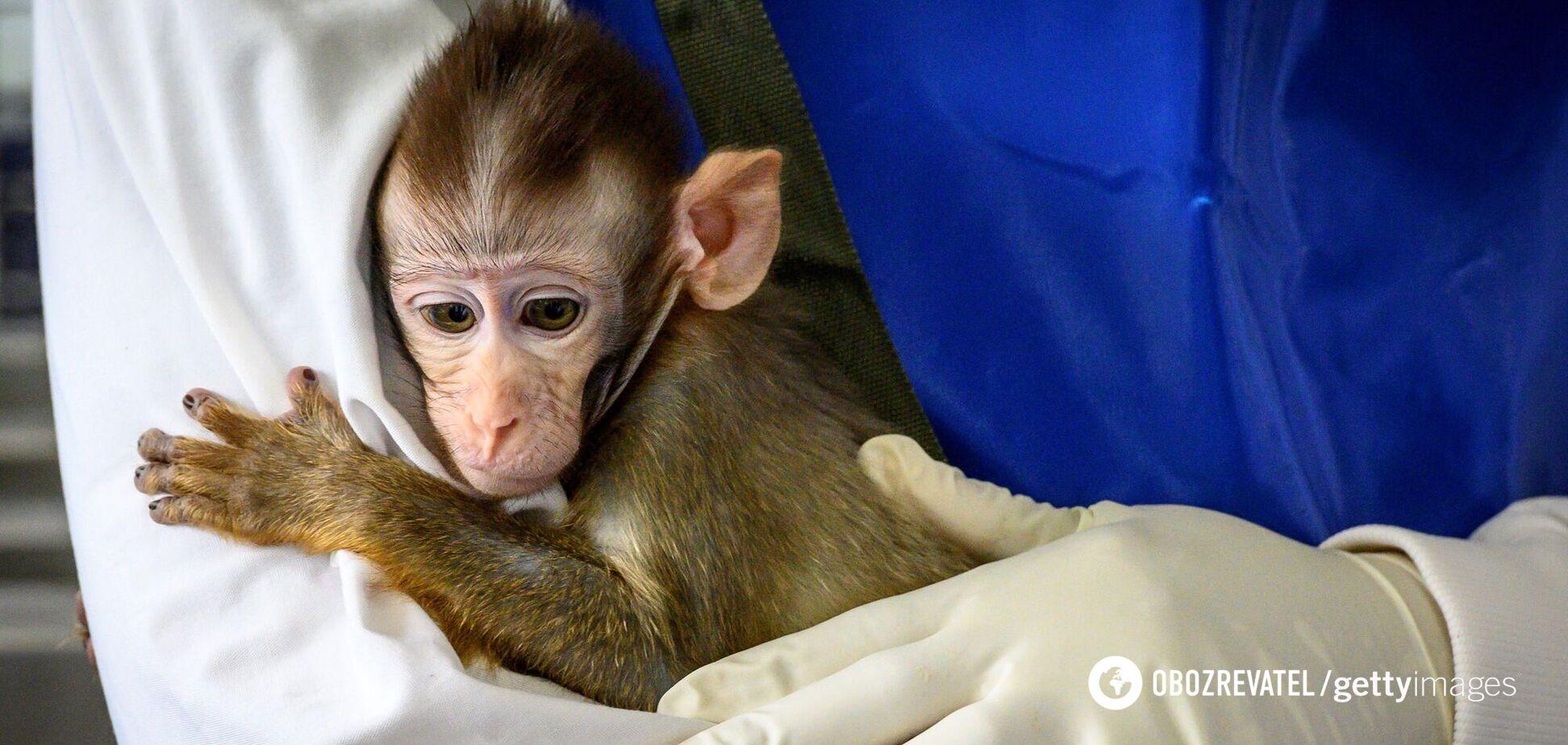 Вчені схрестили клітини людини та мавпи, виростивши химеру
