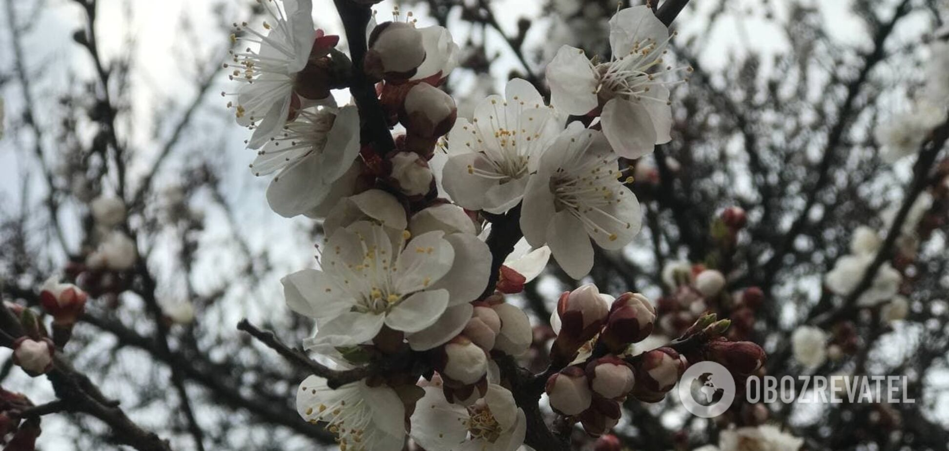 В Киеве зацвели абрикосы и начали распускаться листья на деревьях. Фото