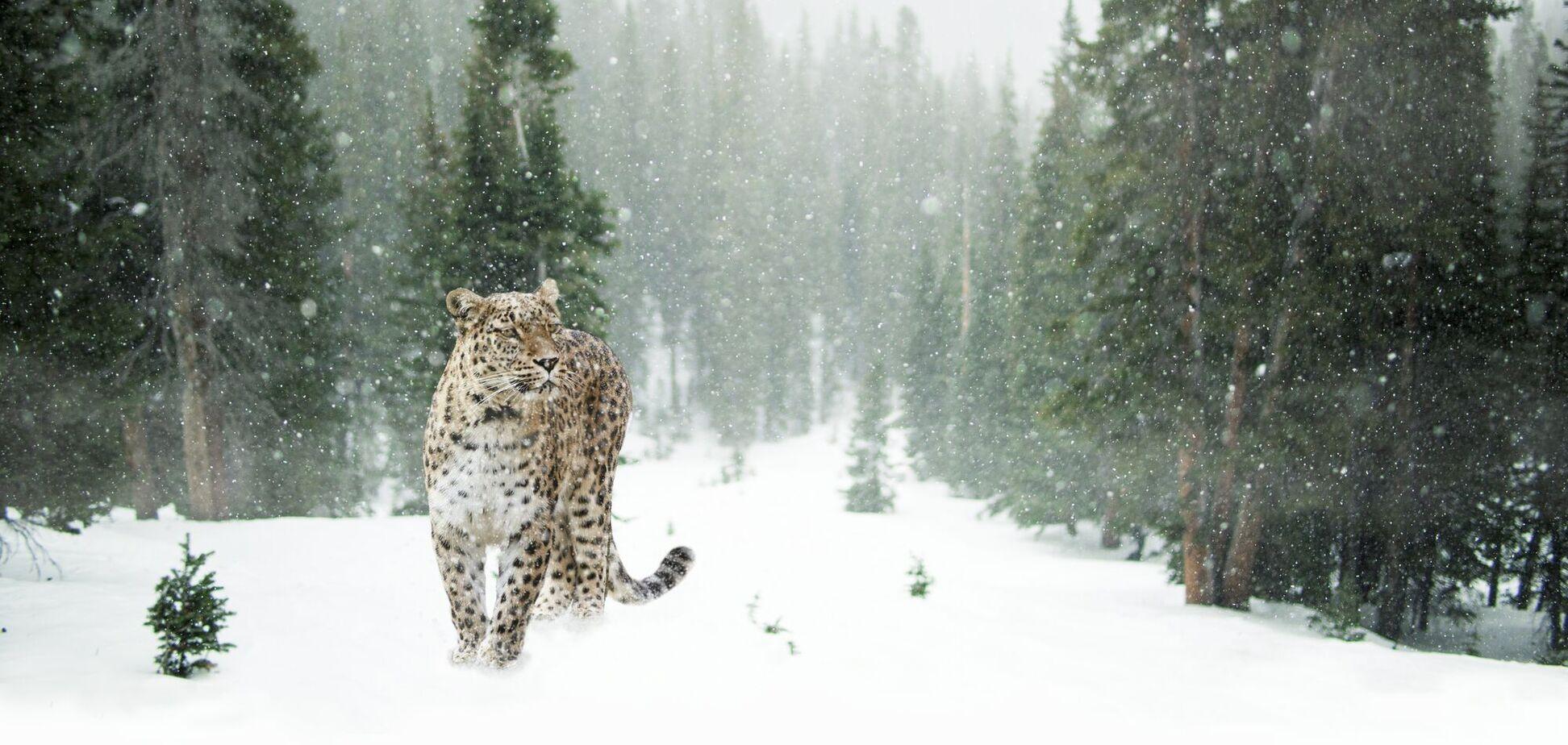 Сніжний барс
