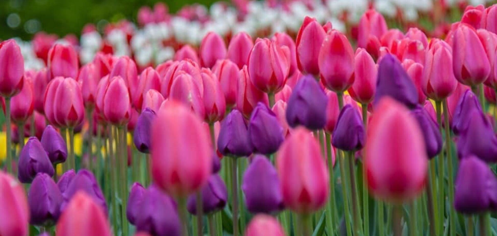 На Співочому полі в Києві розквітло 700 тисяч тюльпанів