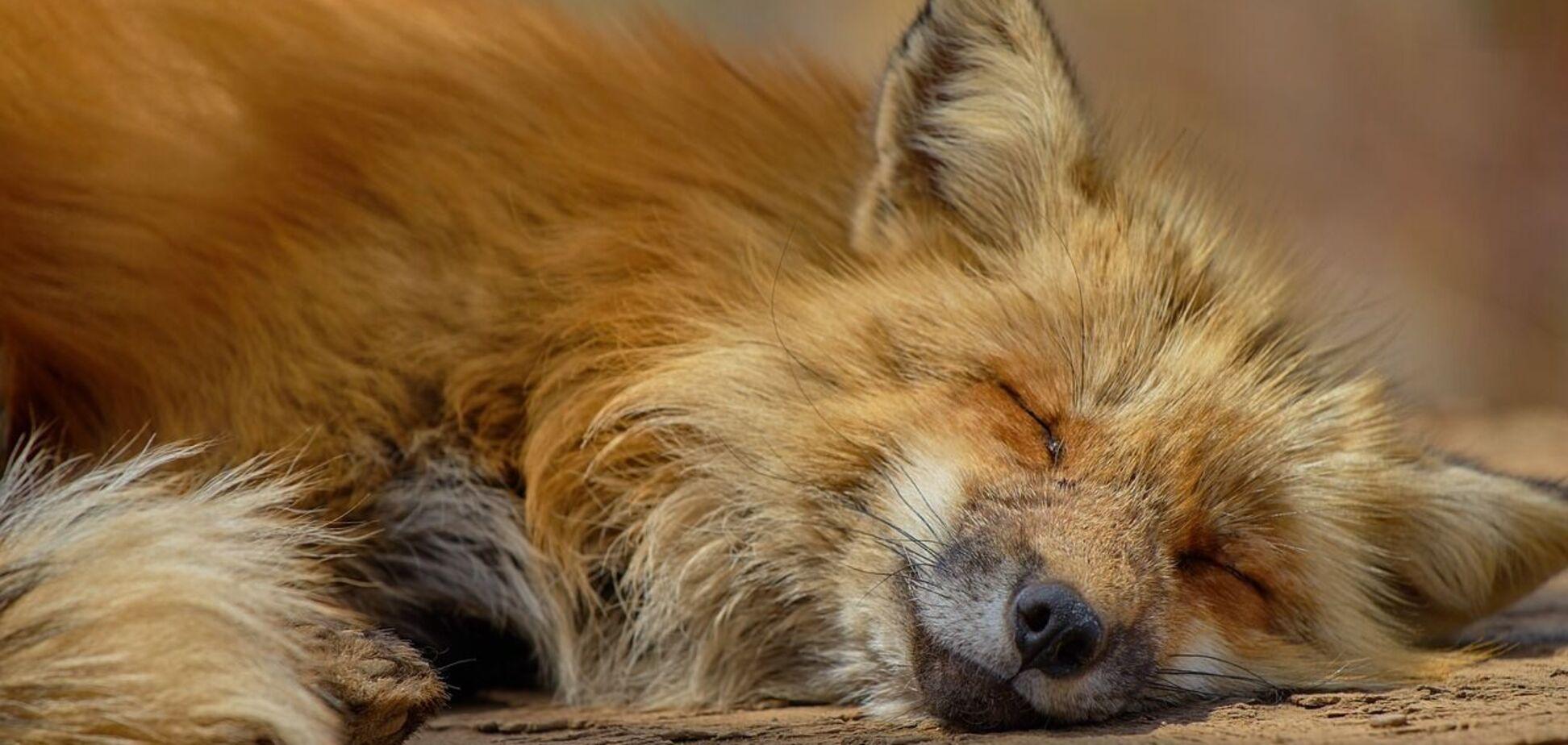 У Києві скажена лисиця напала на жінку