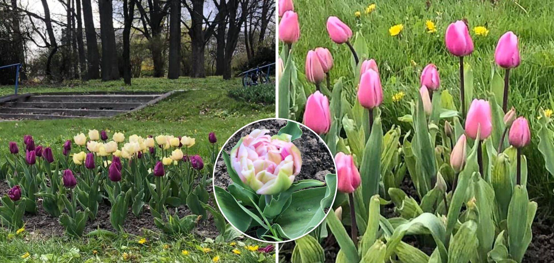 У Києві розквітли унікальні тюльпани