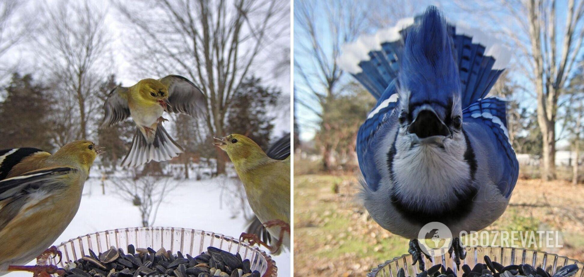 Птахи часто прилітають до годівниці з камерою