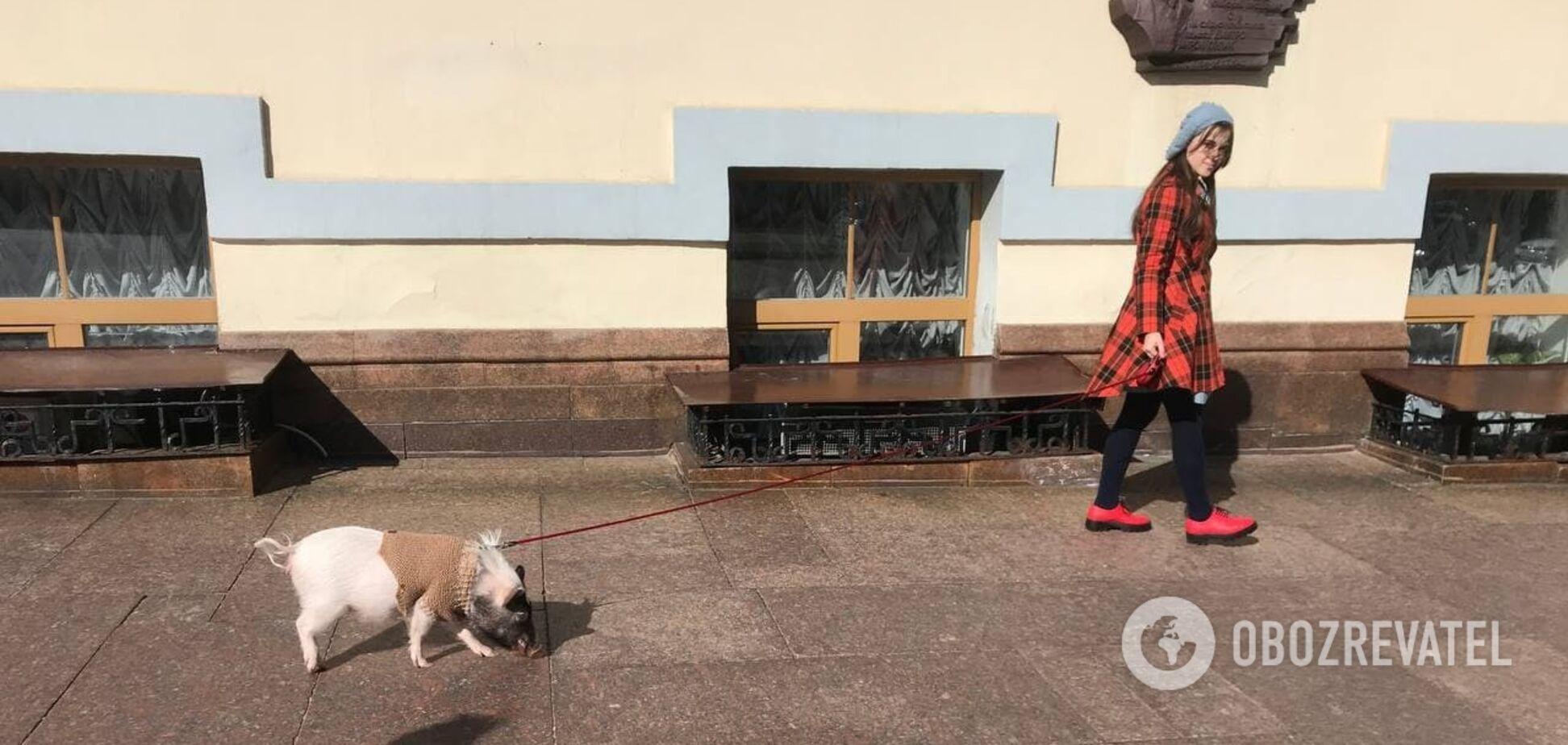 У центрі Києва розгулювала свиня