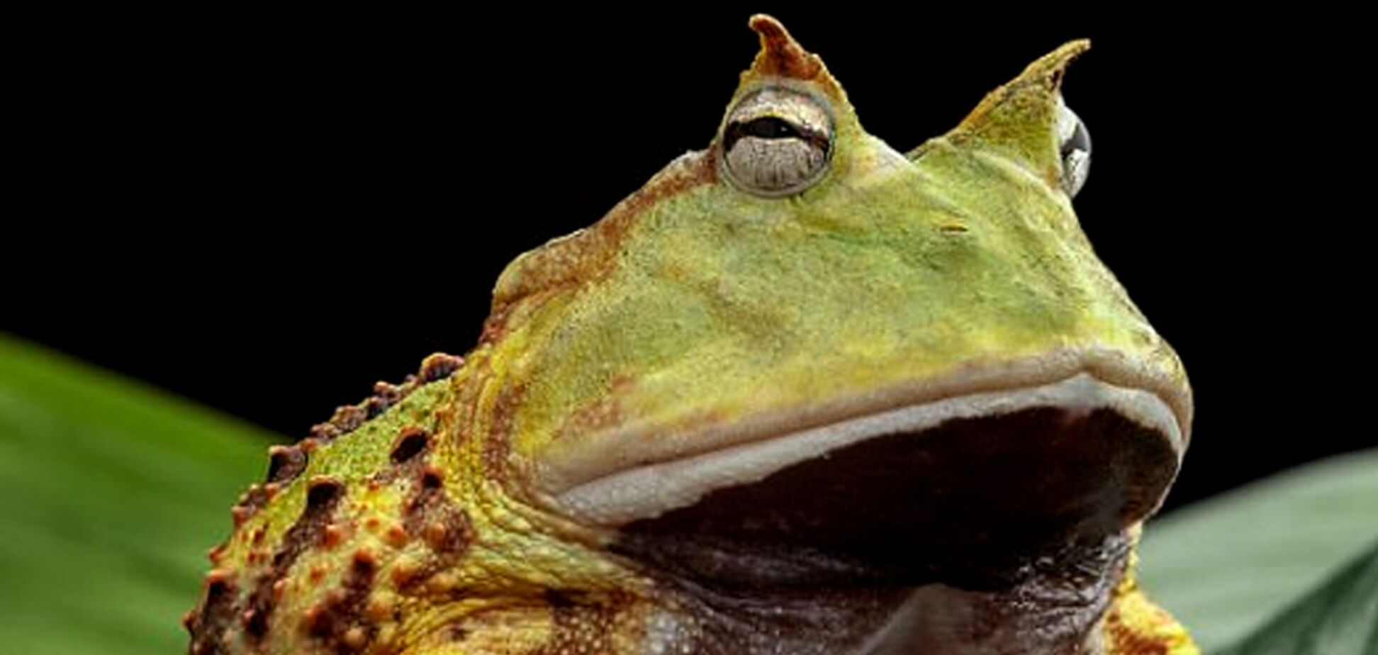 Чоловік знайшов гігантську жабу