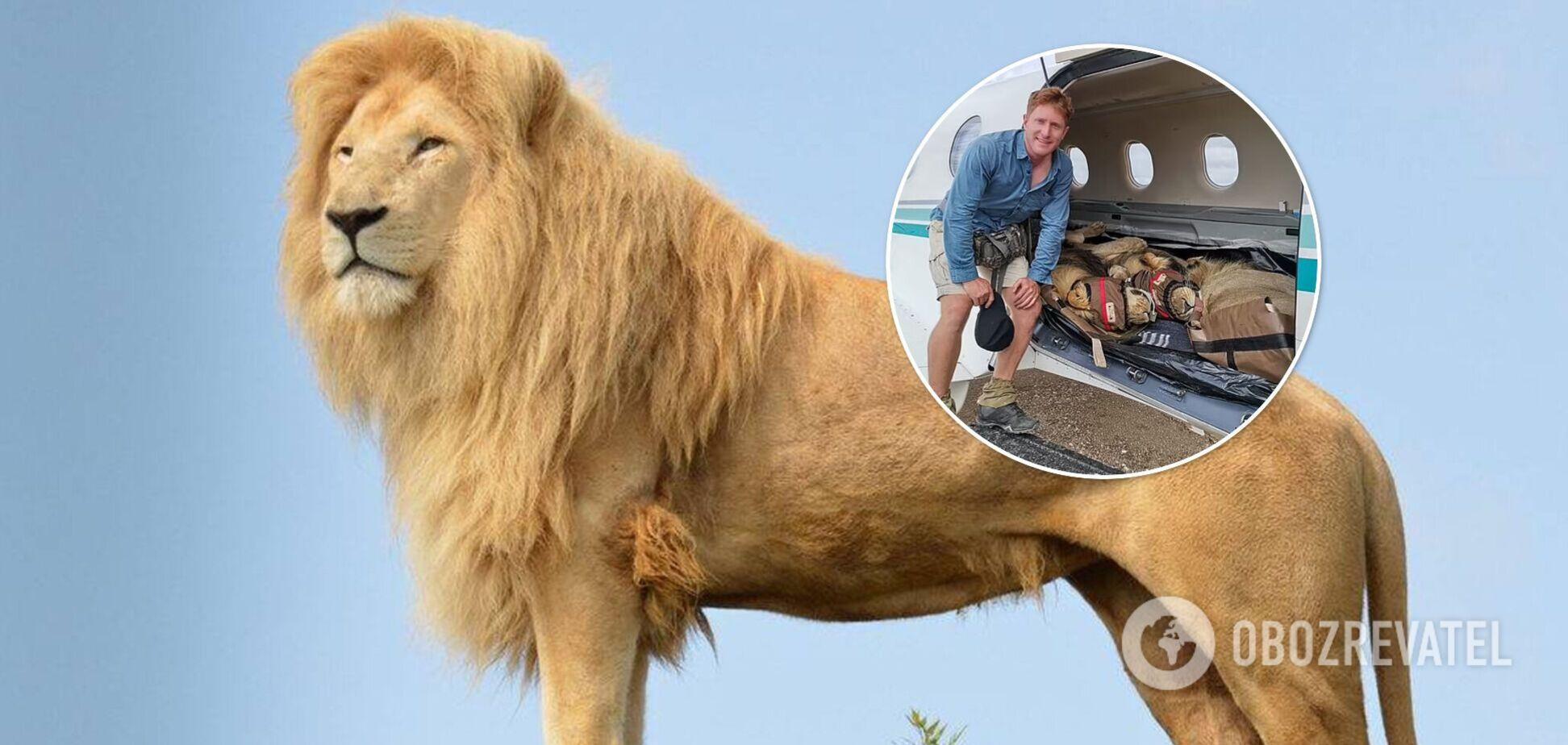 У мережі показали сплячих 200-кілограмових левів у літаку. Фото