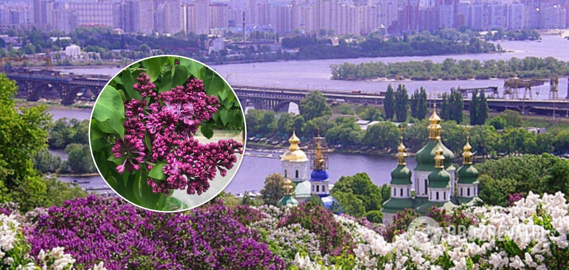 У головному ботсаду Києва розцвіли сотні кущів бузку. Фото