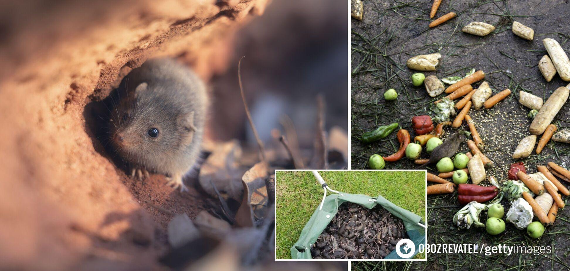 В Австралии нашествие мишей-каннибалов: грызуны проникли в школы и больницы. Видео