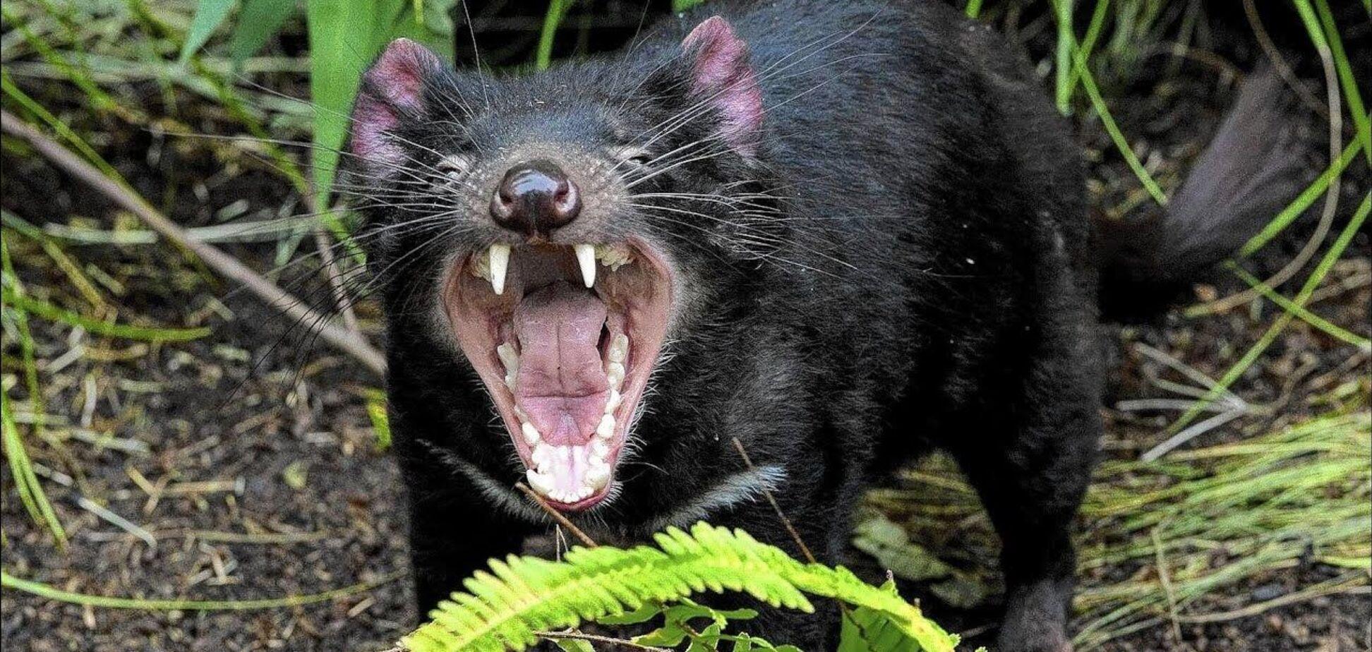 Уперше за 3000 років у дикій природі Австралії народилися тасманійські дияволи