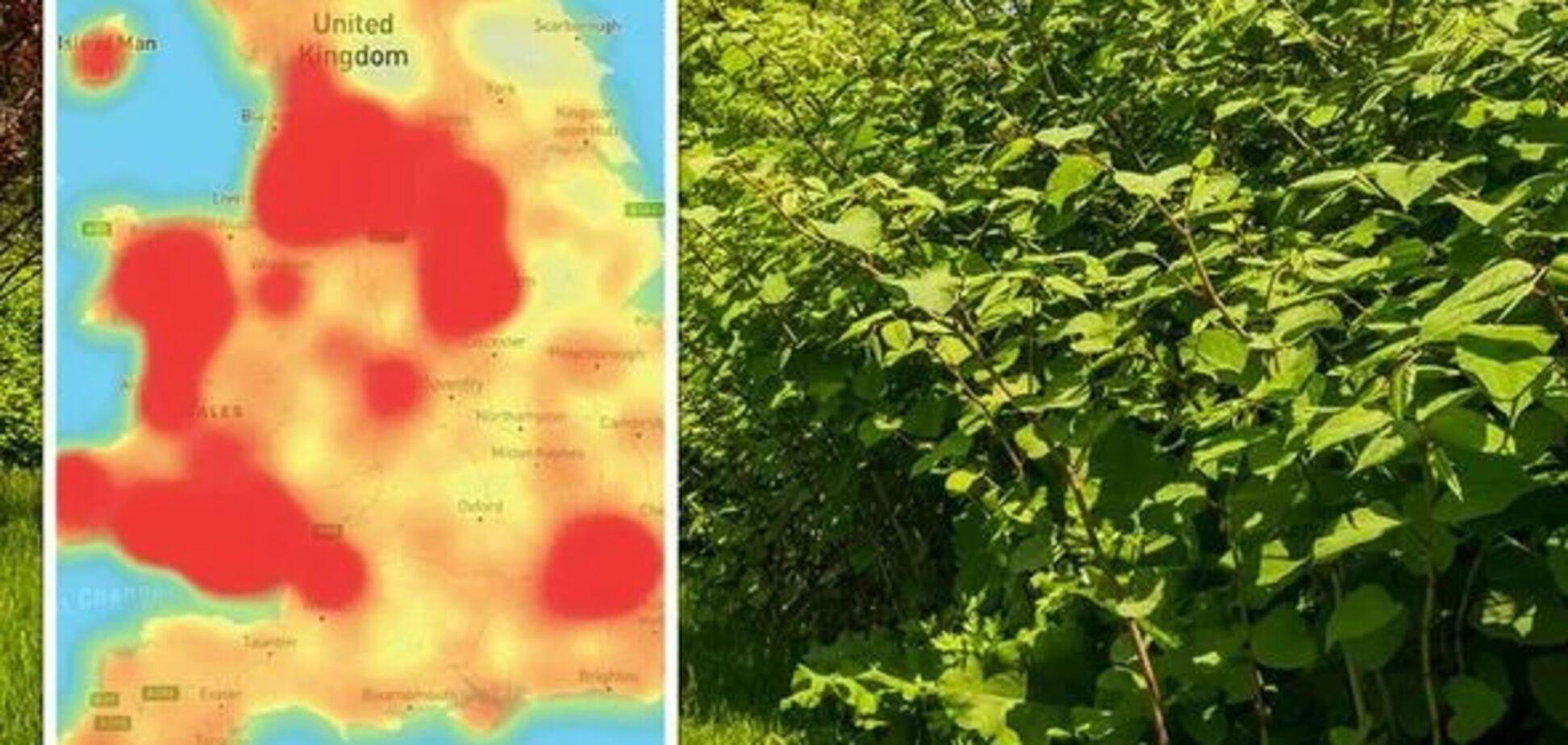 У Британії забити на сполох через рослину-паразит