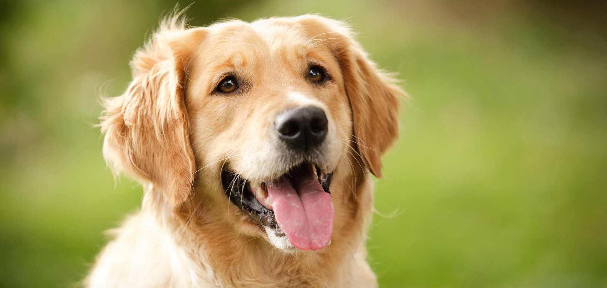 Собака породи золотистий ретривер
