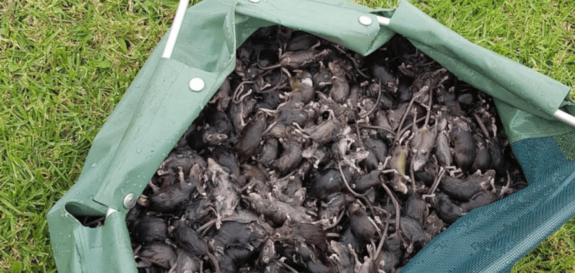 В Австралії зафіксували ''чуму мишей'': гризуни проникають всюди
