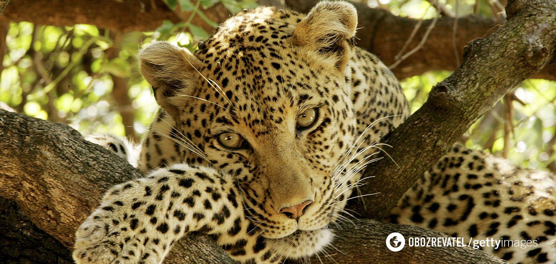 Фотограф запечатлел леопарда, которого невозможно найти на фото