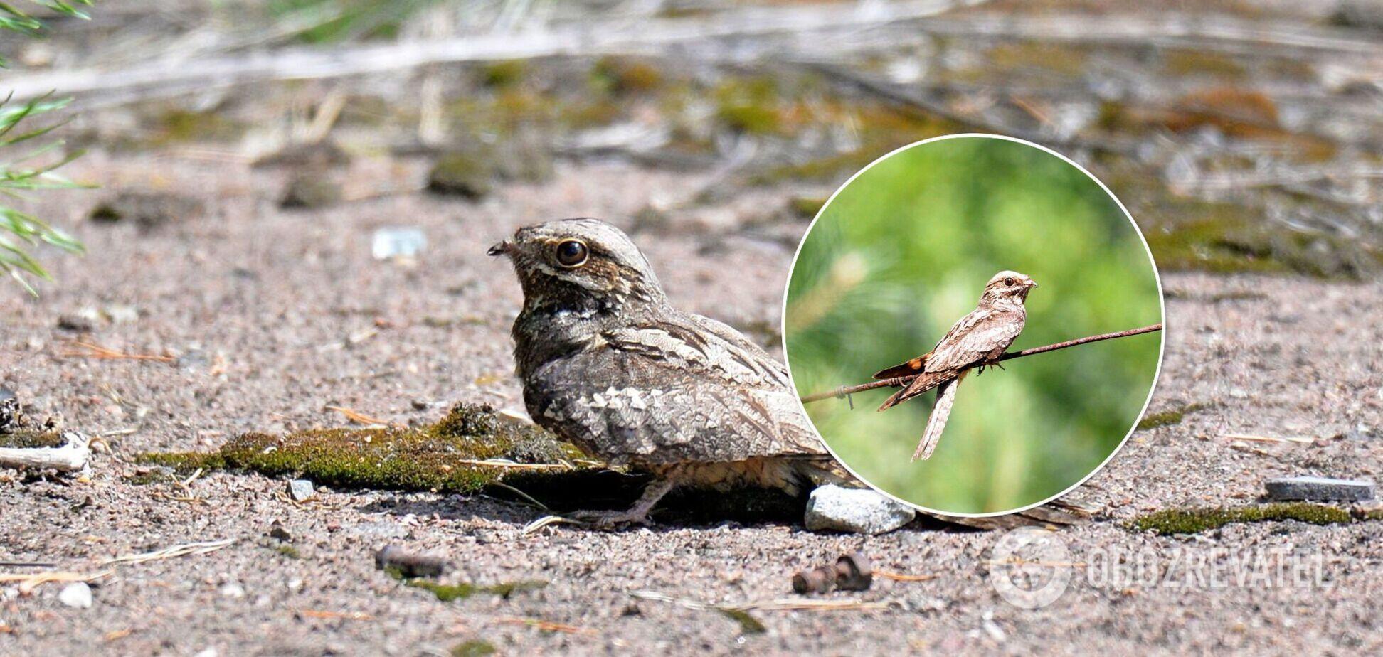 В сети показали птицу-призрака, которая обитает в Чернобыльской зоне