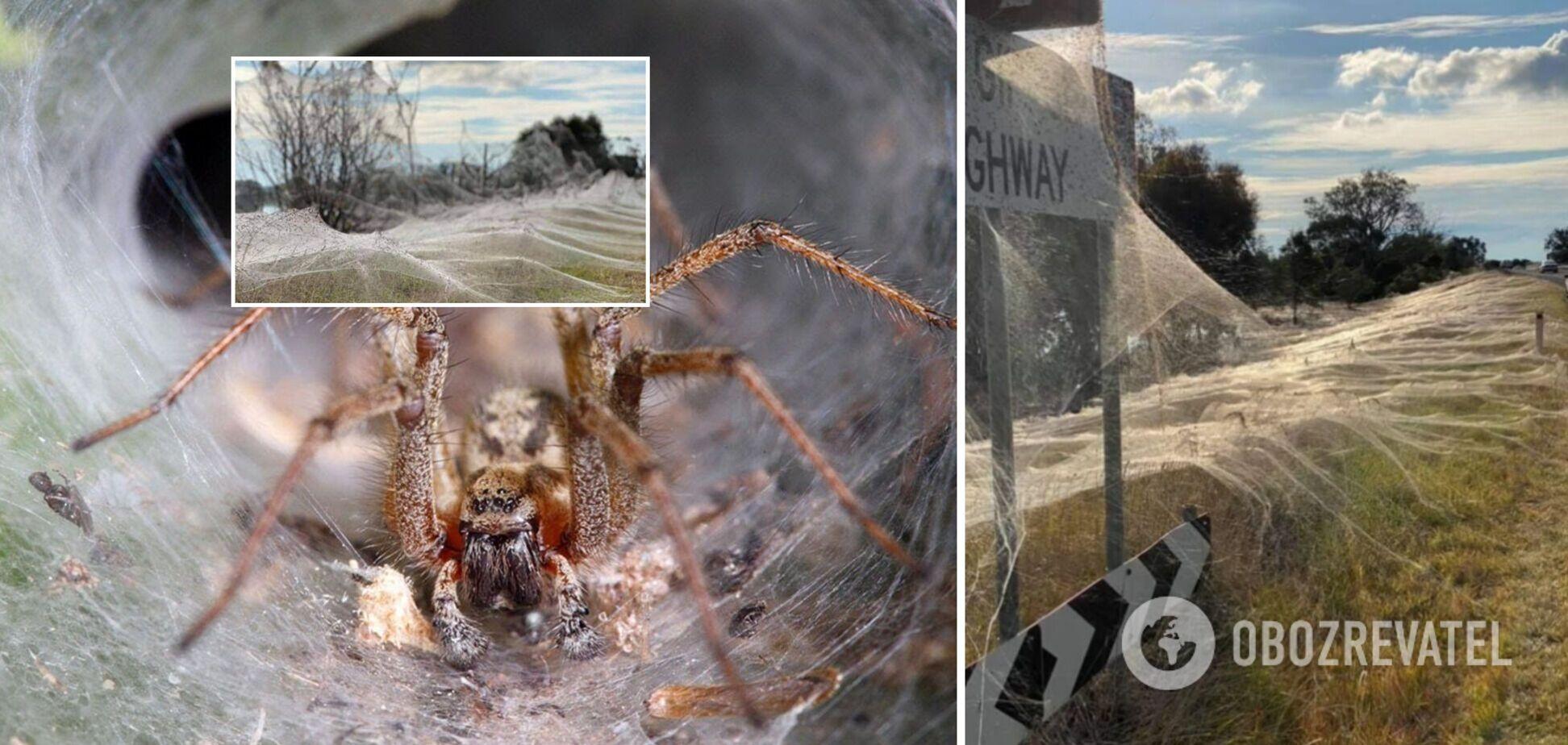 В Австралии тысячи пауков покрыли гигантской паутиной целый штат. Фото и видео