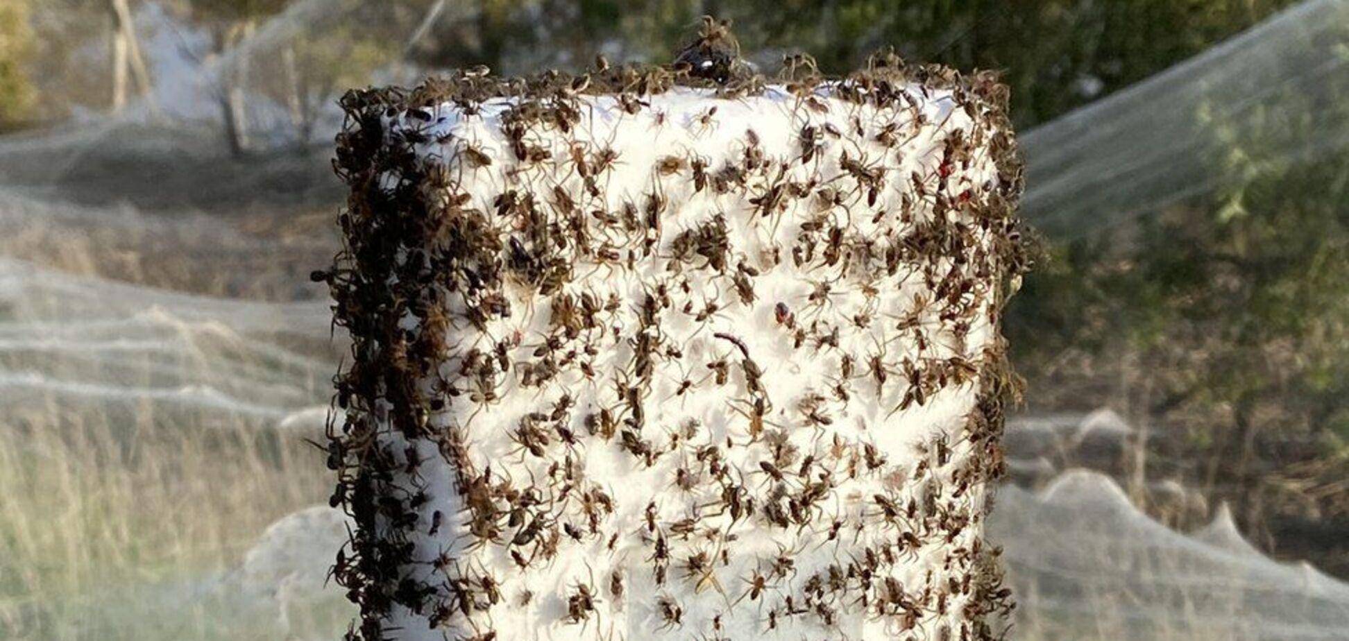 В Австралії мільйони павуків рятуючись від повені влаштували 'апокаліпсис'