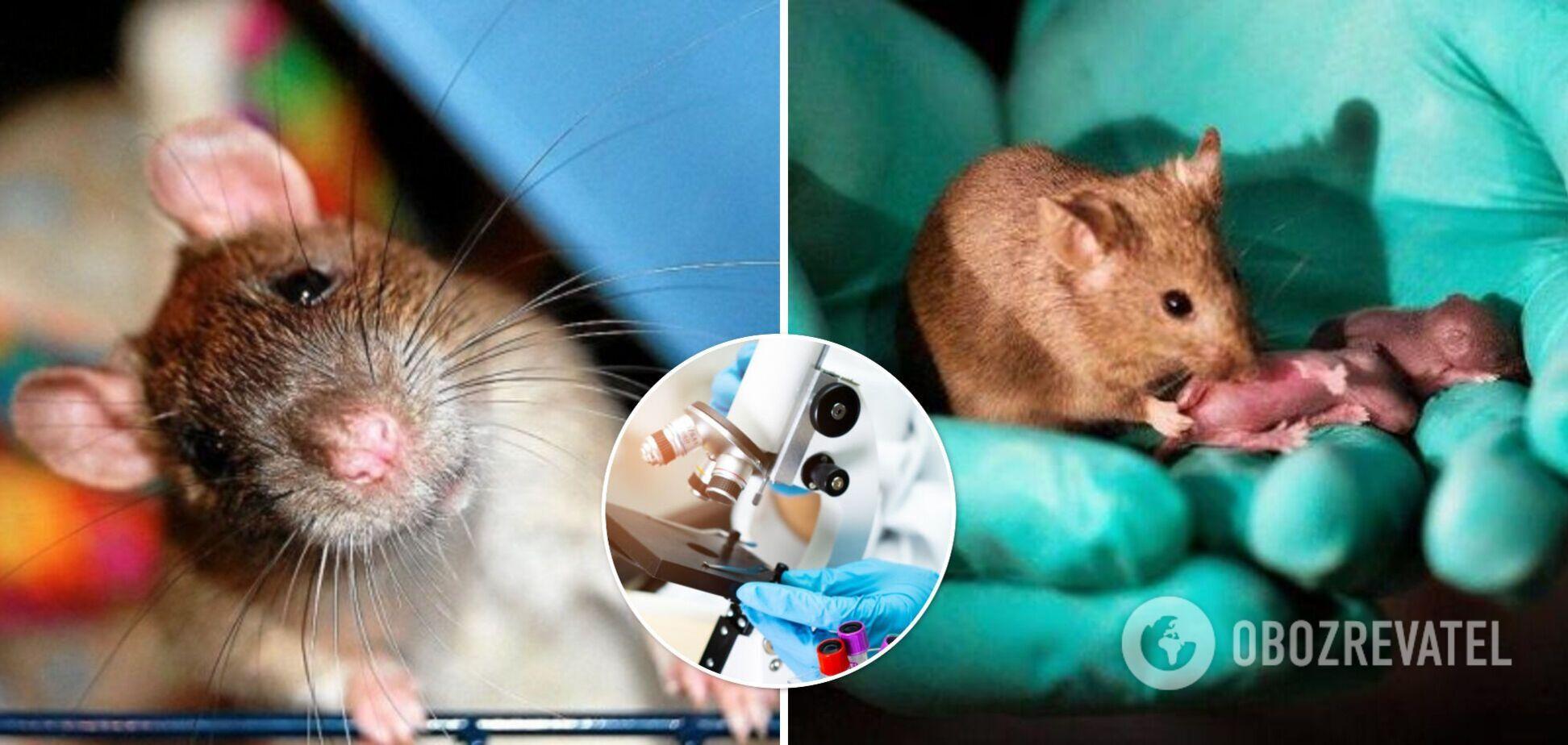 У Китаї вчені змусили самців щурів народити потомство