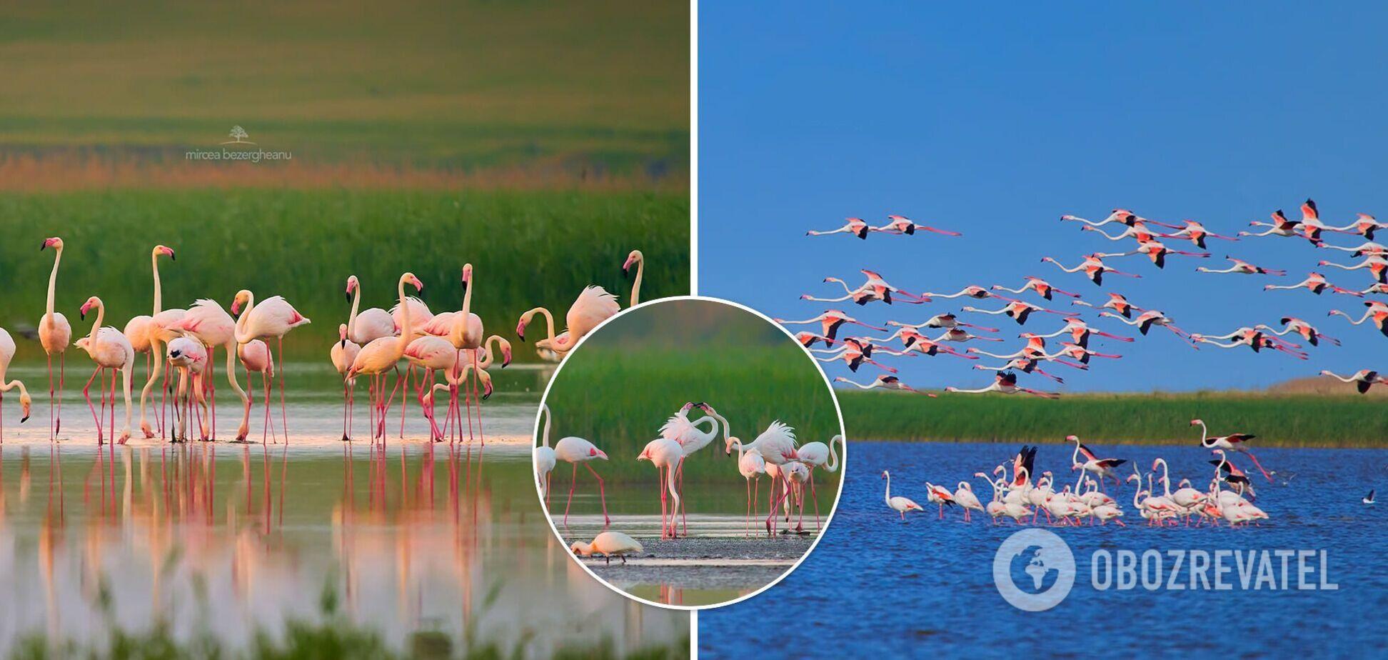 Над Одесщиной пролетела крупнейшая в истории стая розовых фламинго. Редкие фото