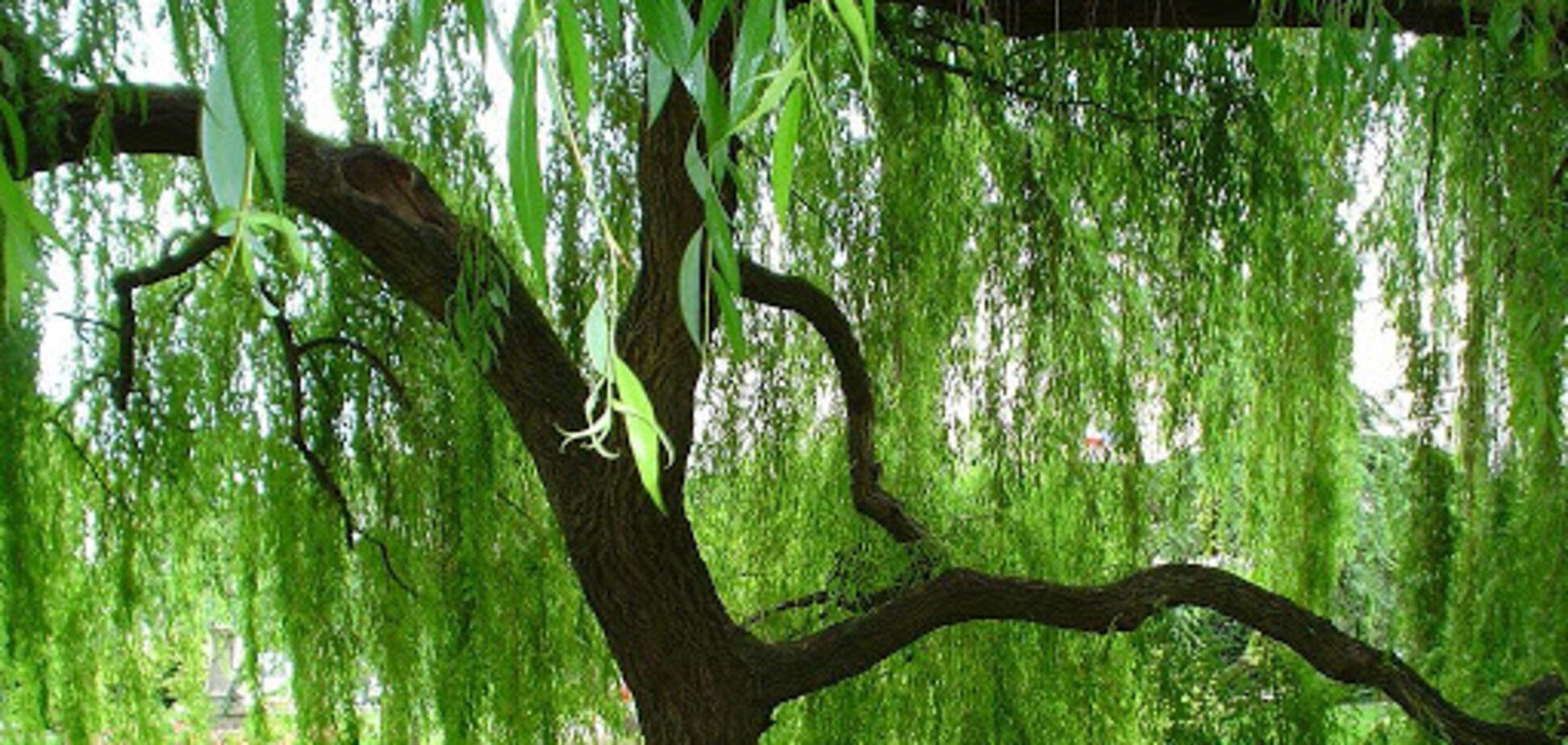 Пыльца деревьев может быть распространителем коронавируса