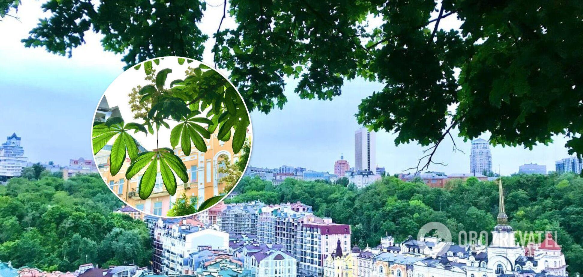 Каштанів стало менше, а кленів більше: у Києві розповіли про найпоширеніші дерева столиці