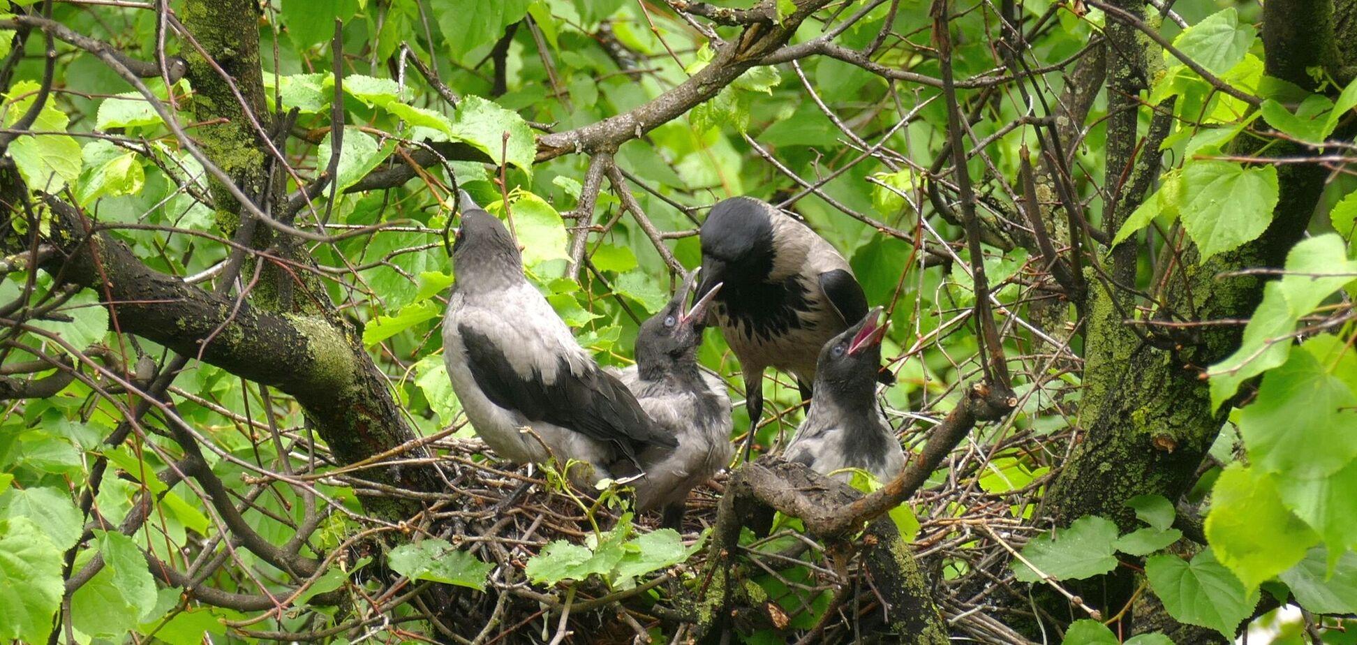 Птах атакував перехожих, які йшли біля дерева