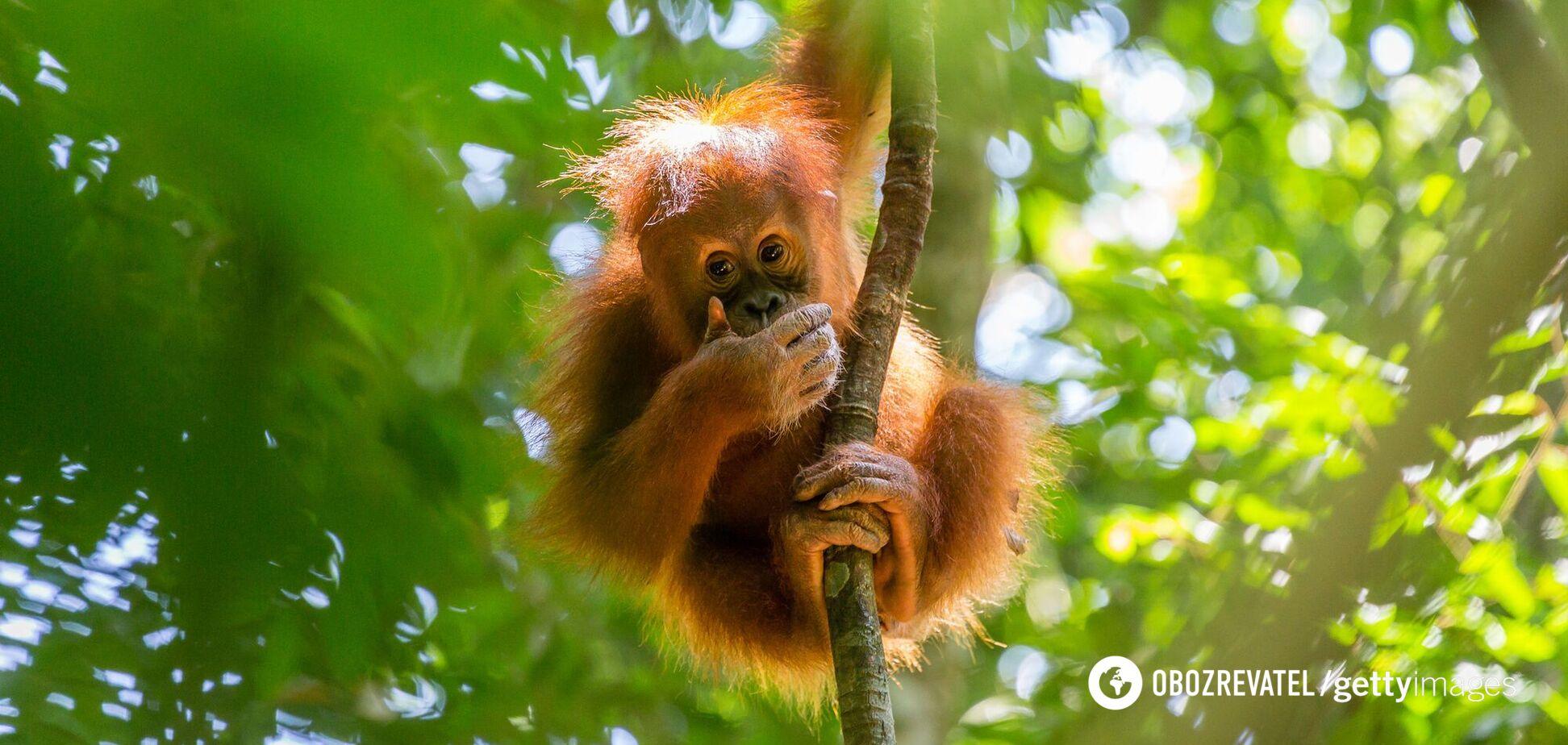 Орангутанг на дереве