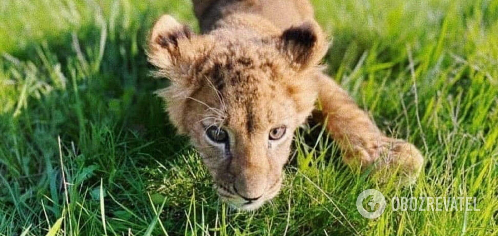 В Киеве трое львят получили серьезные травмы в контактном зоопарке