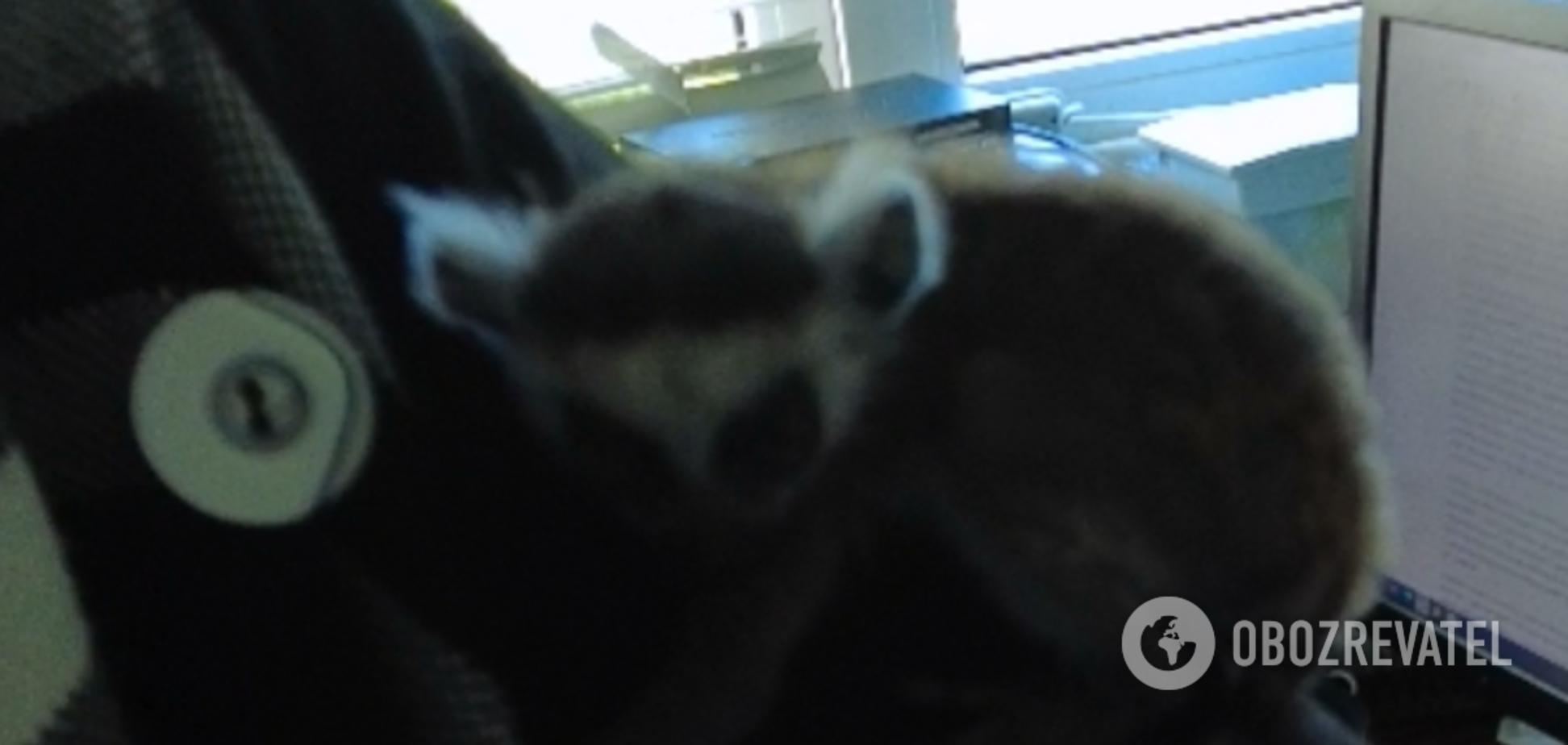 В зоопарке Киева мама отказалась от лемура