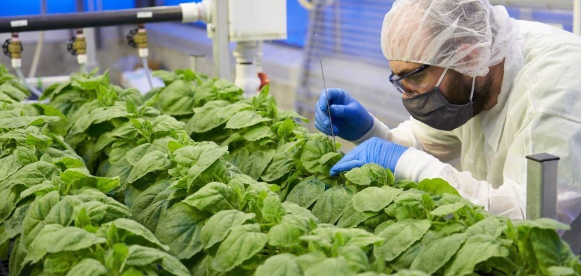 Вакцини від COVID-19 можна вирощувати на тютюновому заводі