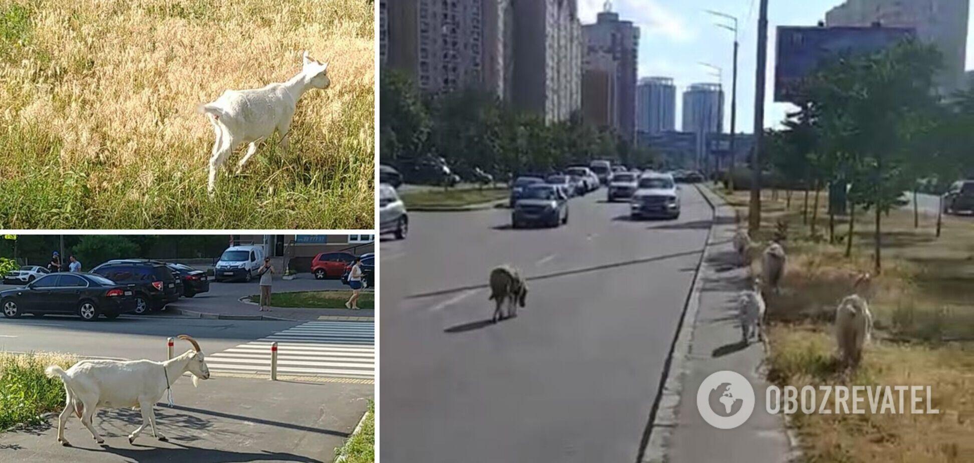 В Киеве на Позняках стадо коз гуляло по проезжей части. Видео 'зоопарка'