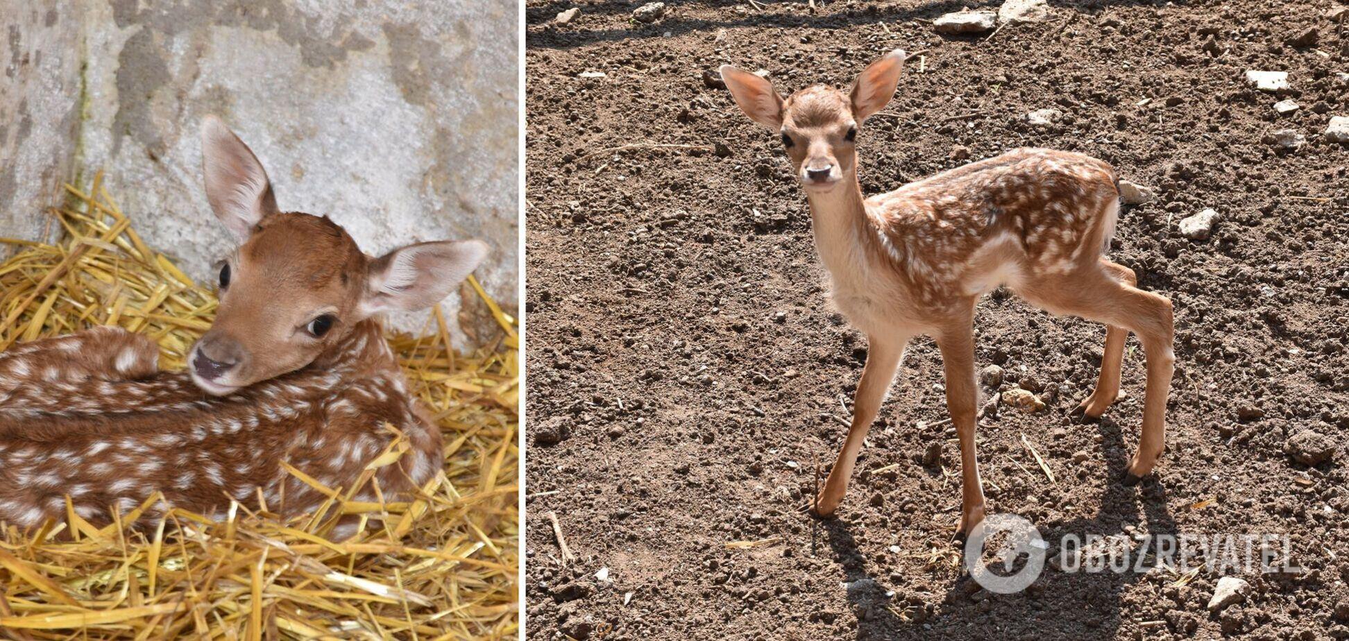 Ламы относится к семейству настоящих оленей