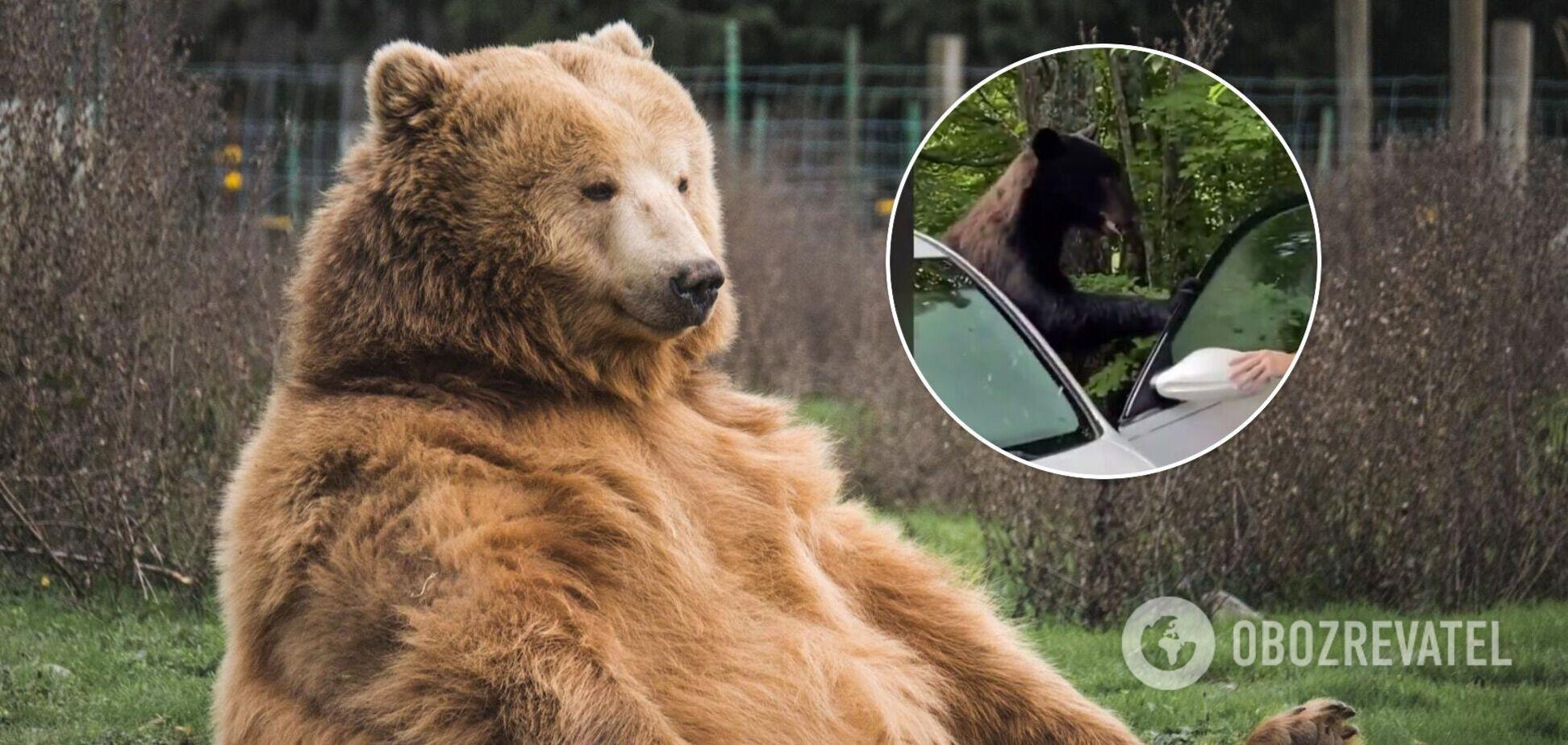 Безстрашний водій виманив ведмедя, який сів за кермо його машини. Відео