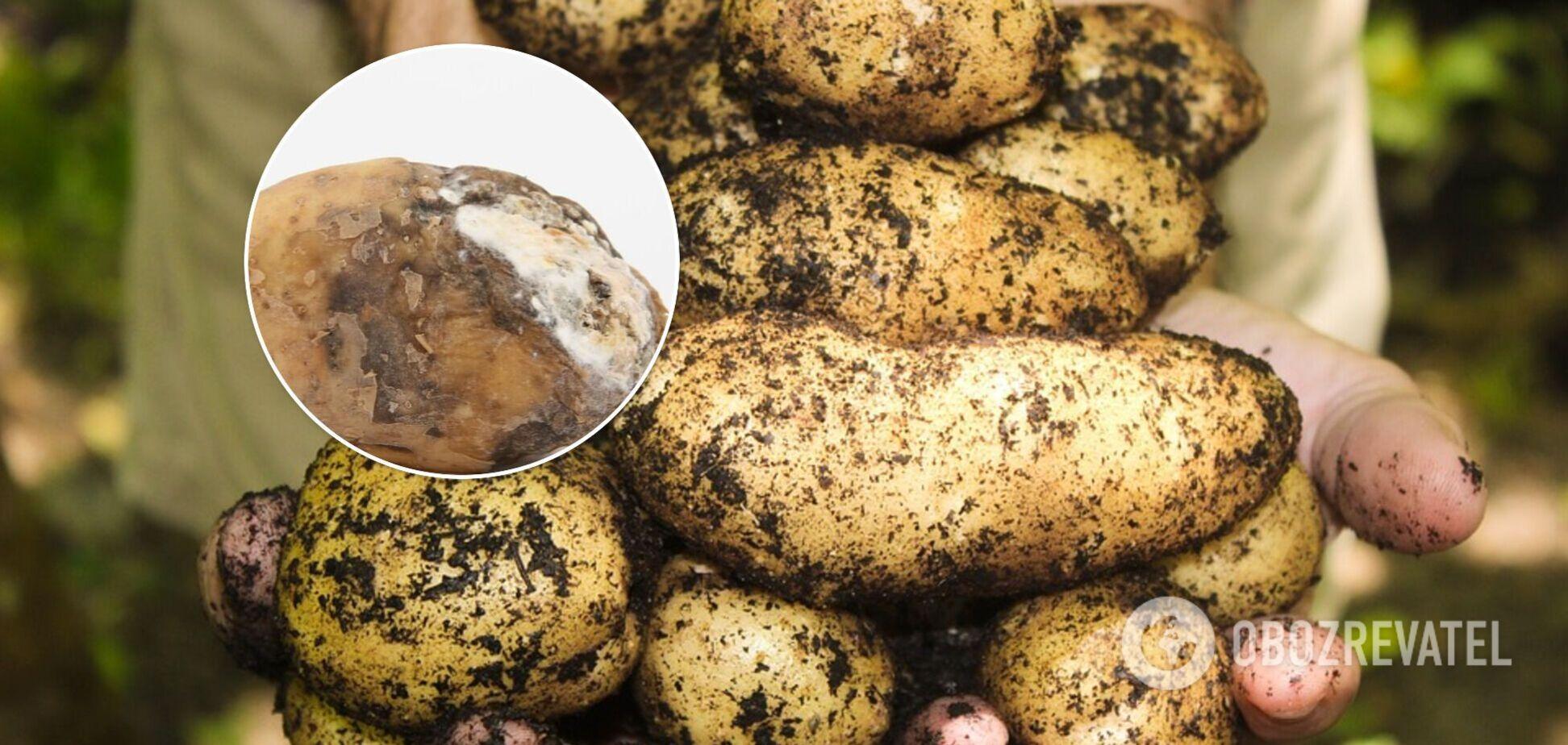 В Украине испортилось качество картофеля